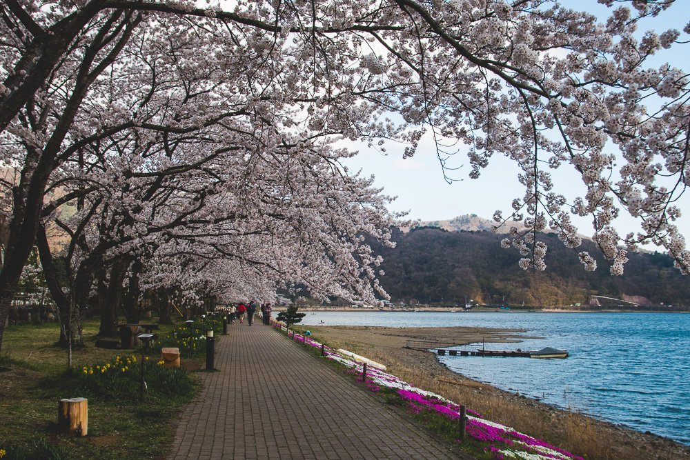 Cherry Blossoms in late April, Lake Kawaguchiko