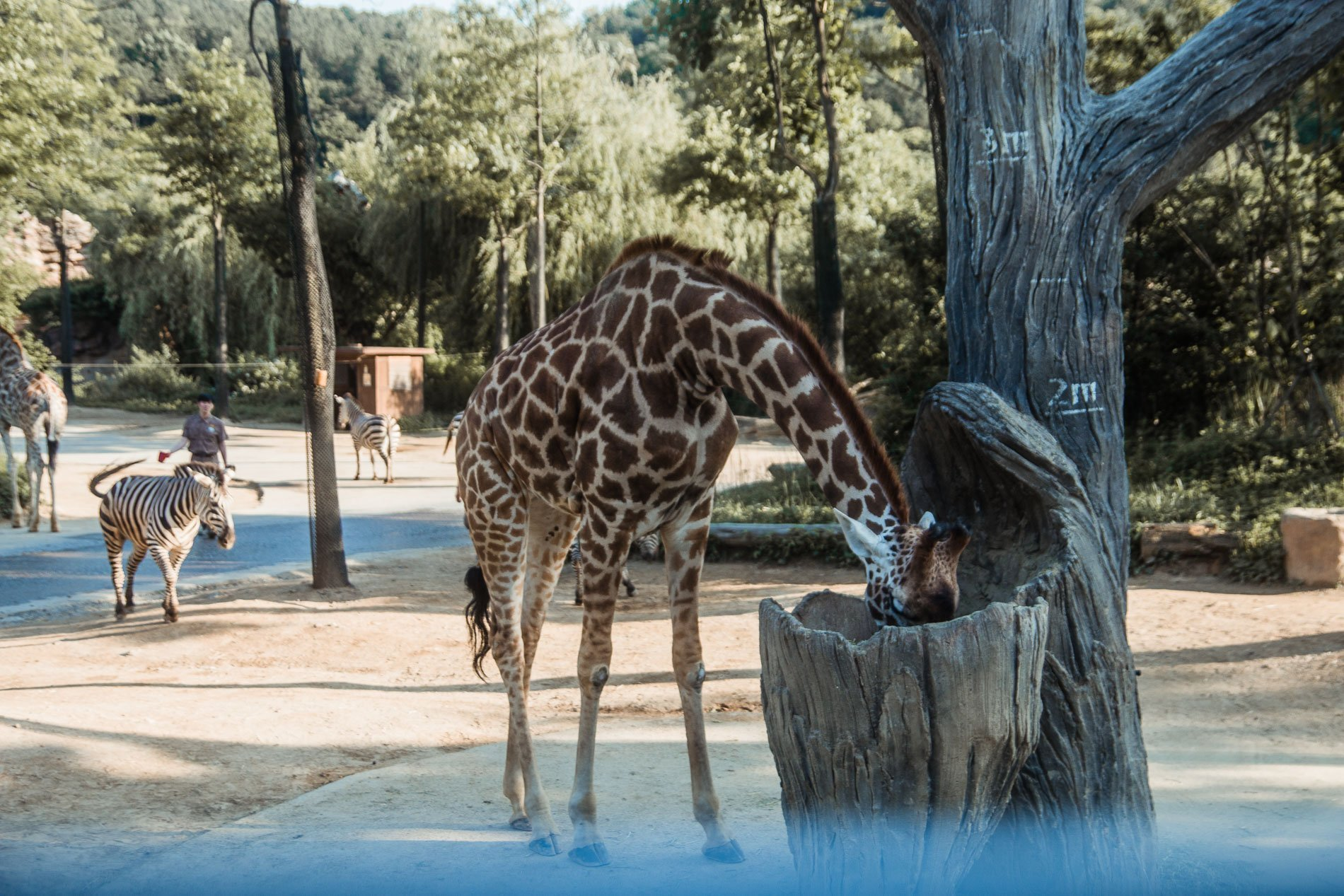 Giraffes in Everland, Seoul